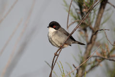 Sardinian warbler, Sylvia melanocephala, single male. On a branch in bush, Portugal, March 2010 Royalty Free Stock Photos