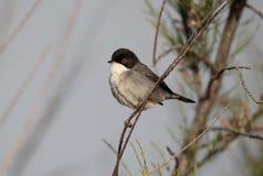 Sardinian warbler, Sylvia melanocephala, single male Royalty Free Stock Photos