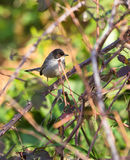 Sardinian Warbler in the thicket. A male Sardinian Warbler (Sylvia melanocephala)  perches on a thistle plant branch in the thicket which is his preferred Stock Photo