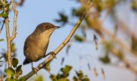 Sardinian Warbler on Tree Branch Stock Photography