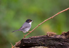 Sardinian Warbler on twig. A male Sardinian Warbler (Sylvia melanocephala) perches on a thin twig Royalty Free Stock Photography