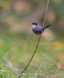 Sardinian Warbler on twig Stock Images