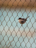 Sardinian Warbler in wire-mesh. A Sardinian Warbler (Sylvia melanocephala) perching on a wire-mesh fence Royalty Free Stock Images