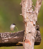 Sardinian Warbler on wooden structure. A male Sardinian Warbler (Sylvia melanocephala) perches on a wooden structure forming a right angle Royalty Free Stock Photo