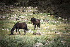 Sardinige. Wild paarden stock afbeelding