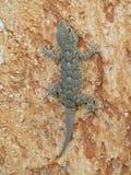Sardinischer Gecko, der eine Wand klettert lizenzfreie stockfotografie