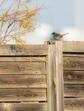 Sardinischer Wobbelton auf einem Zaun Stockfotografie