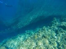 Sardinkoloni och dykare i vatten för öppet hav Den massiva fisken skolar det undervattens- fotoet Pelagisk fisksimning i havsvatt royaltyfri foto