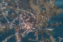 Sargarssumfish Camouflaged Underwater royalty free stock images