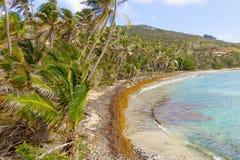 Sargassum полет повреждать совершенство пляжа в Вест-Инди стоковые изображения rf