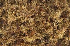 Sargassum fluitans algae Royalty Free Stock Photo