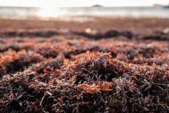 Sargassum-Gras angehäuft auf dem Ufer des karibischen Meeres Lizenzfreie Stockfotos
