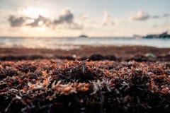 Sargassum-Gras angehäuft auf dem Ufer des karibischen Meeres Stockfotos