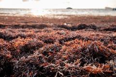 Sargassum-Gras angehäuft auf dem Ufer des karibischen Meeres Lizenzfreie Stockbilder