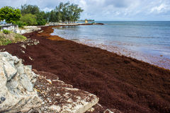 Sargassum Seaweed On Barbados Atlantic Coast Beach Editorial