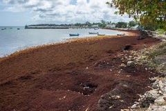 Sargassum Seaweed on Barbados beach Royalty Free Stock Image