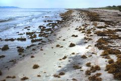 Sargassum Seaweed on the beach Stock Photo
