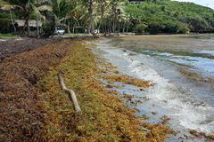 Sargassum seaweed on a beach in the windward islands Royalty Free Stock Photos