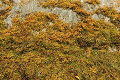 Sargassum seaweed on a beach in the windward islands Stock Photography