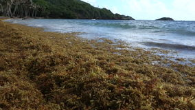 Sargassum seaweed on a beach in the windward islands stock footage
