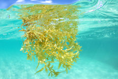 Sargassum seaweed floating underwater in sea. Closeup underwater shot of brown Sargassum algae floating at surface of shallow tropical sea Stock Photography