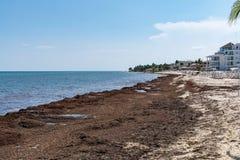 Sargassum seaweed sea algae problem on the beach of Mexico stock photo