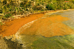 Sargassum spoiling a beach in the caribbean Stock Image