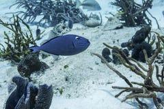 Sargassum Triggerfish Royaltyfria Foton