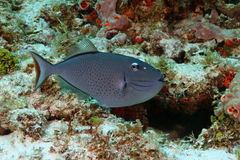 Sargassum Triggerfish - Cozumel Royalty Free Stock Photo