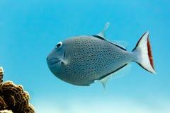Sargassum Triggerfish xanthichthys ringens και κοράλλι Στοκ εικόνες με δικαίωμα ελεύθερης χρήσης