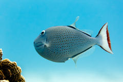Sargassum Triggerfish xanthichthys ringens and coral Royalty Free Stock Images