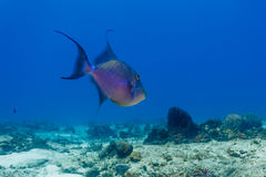 Sargassum Triggerfish, xanthichthys ringens, swimming on coral reef close up Royalty Free Stock Photos