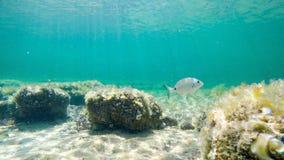 Sargo που κολυμπά στην τυρκουάζ θάλασσα της Σαρδηνίας Στοκ Εικόνες