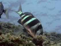 Sargo fisk Royaltyfri Foto