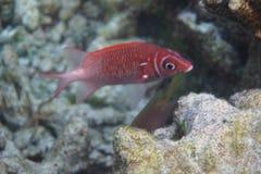 Sargocentron caudimaculatum dello squirrelfish di Silverspot Fotografie Stock Libere da Diritti
