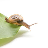 Sarika snail pest of orchid. More common in Thailand Stock Image