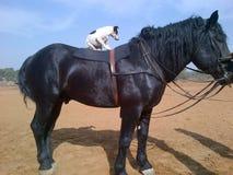 SARISKA -与老虎的骑马 免版税库存图片