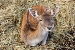sarniaków potomstwa zdjęcia stock