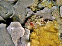 Saron shrimp. On a reef and sea bottom. Species: Saron marmoratus Royalty Free Stock Photos