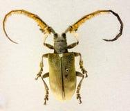 Sarothrocera lowii – Borneo tropical beetle specimen Royalty Free Stock Photography