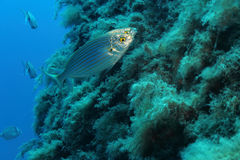 Sarpa Salpa fish. A couple of fishes (Sarpa Salpa) in open water. Shot in the wild Royalty Free Stock Photography