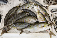 Sarpa salpa for sale in the greek fish market. Stock Images