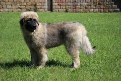 Sarplaninac dog Stock Images