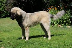 Sarplaninac-Hund Stockfotografie