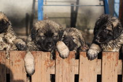 Sarplaninac puppies Stock Images
