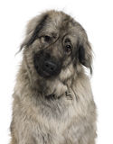 Sarplaninac or Yugoslav Shepherd dog Stock Photos