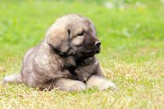 Sarplaninec, Macedonian shepherd dog Royalty Free Stock Photography