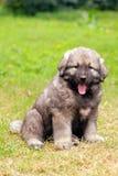 Sarplaninec, Macedonian shepherd dog Stock Photos