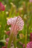 Sarracenia Royalty Free Stock Photography