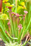Sarracenia Stock Photo